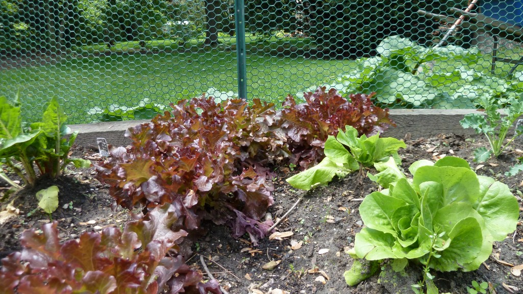 Red & Butter Leaf Lettuce
